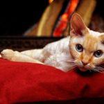 Gattini che rimangono piccoli: esistono? Che razza sono?