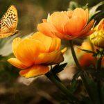 Farfalle arancioni: quali sono le specie, significati e dove si trovano